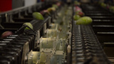 Mangoes In A Packaging Line stock footage