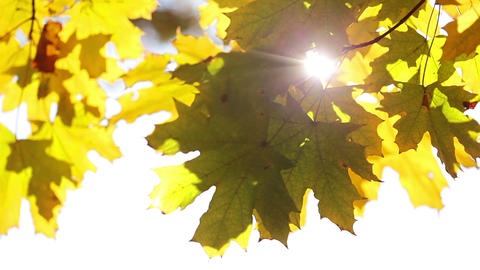 Sun and maple leaves Stock Video Footage