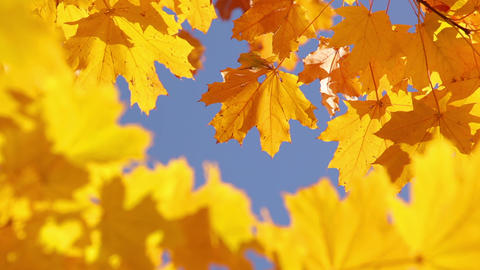 Maple leaves and sky Footage