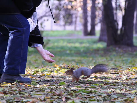 Squirrel in the park produces nuts Footage