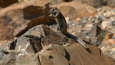 barbary ground squirrel eat Atlantoxerus 11119 Stock Video Footage