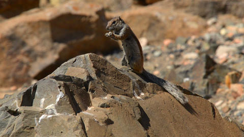 barbary ground squirrel eat Atlantoxerus 11119 Stock Video Footage