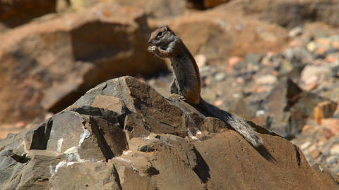 barbary ground squirrel eat Atlantoxerus 11119 Footage