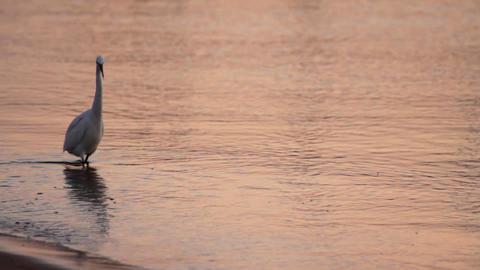 Egyptian heron bird walking on coastline Stock Video Footage