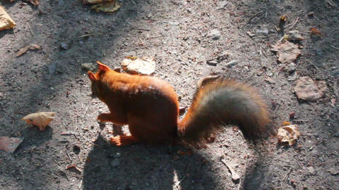squirrel feeding with nuts in park Stock Video Footage