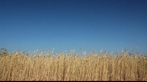 yellow field with ripe wheat under blue sky Footage