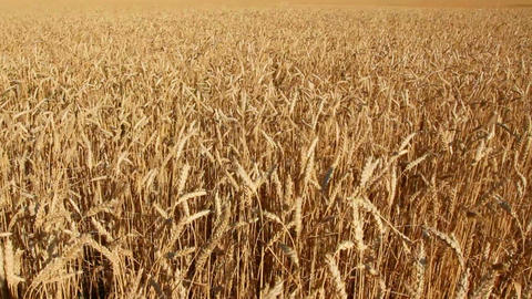 yellow field with ripe wheat Stock Video Footage