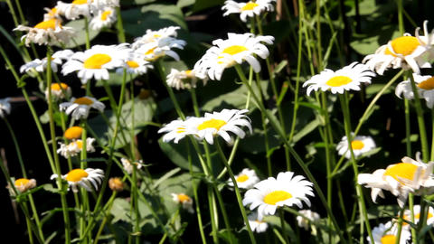 chamomile flowers swaying in the wind Footage