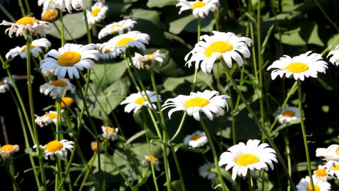 chamomile flowers swaying in the wind Stock Video Footage