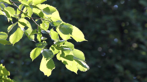 bright summer leaves in sunlight Footage
