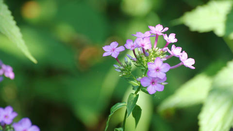 phlox flower between green leaves Stock Video Footage