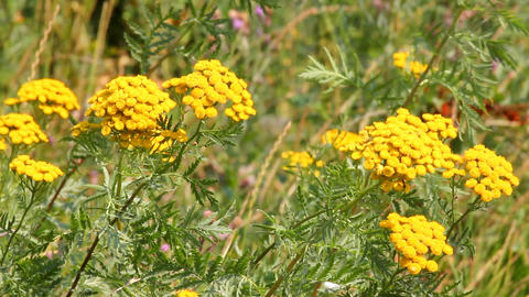 tansy flowers on green meadow Stock Video Footage