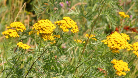 tansy flowers on green meadow Footage