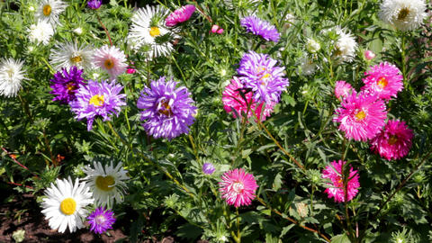 aster flowers Stock Video Footage