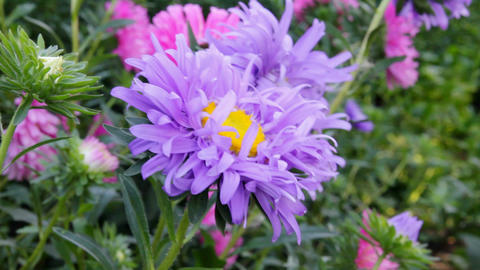 aster flower Stock Video Footage