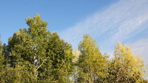 autumn poplar trees in wind under blue sky Footage