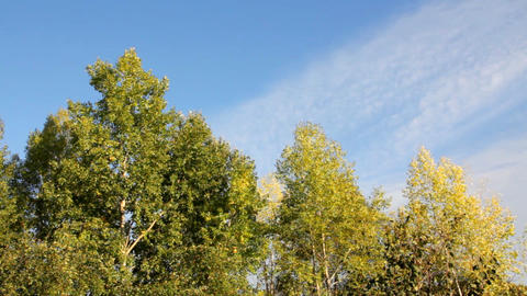 autumn poplar trees in wind under blue sky Stock Video Footage