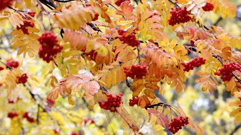 red ashberry - autumn Stock Video Footage