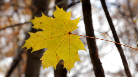 single yellow autumn maple leaf Stock Video Footage
