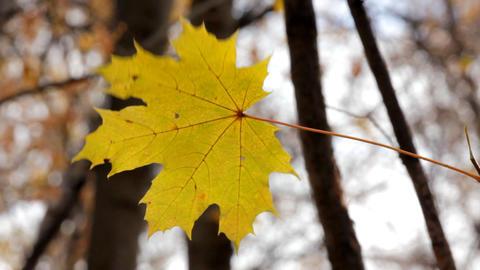 single yellow autumn maple leaf Footage
