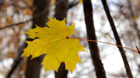 single yellow autumn maple leaf Stock Video Footage