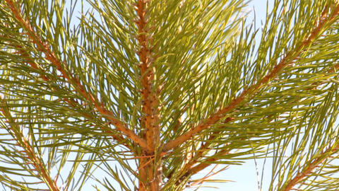 tip of pine close-up Stock Video Footage
