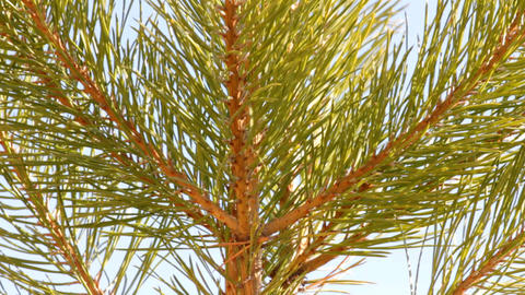 Tip Of Pine Close-up stock footage