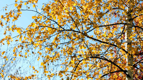 autumn bright yellow birch leaves Footage