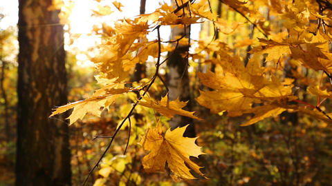beautiful autumn yellow leaves and sun Stock Video Footage