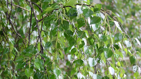 birch tree leaves close-up under rain Footage