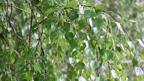 birch tree leaves close-up under rain Stock Video Footage