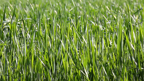 green wheat close-up Stock Video Footage