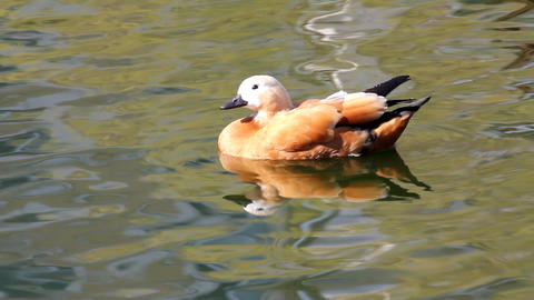 Mandarin duck Stock Video Footage