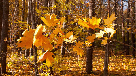 beautiful autumn yellow leaves Stock Video Footage