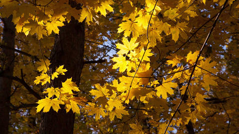 beautiful autumn yellow leaves Footage