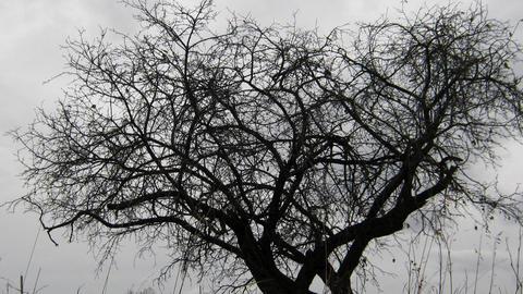 dry tree under moody overcast sky Stock Video Footage