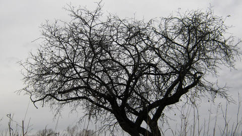 dry tree under moody overcast sky Stock Video Footage
