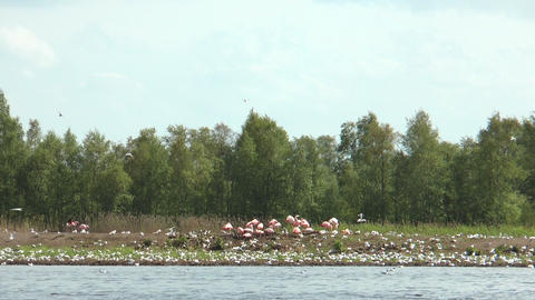 flamingos and flock of black headed gulls Stock Video Footage