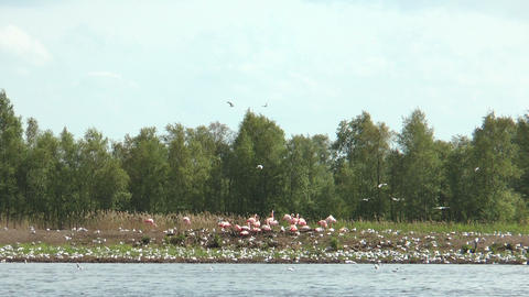 Flamingos And Flock Of Black Headed Gulls stock footage