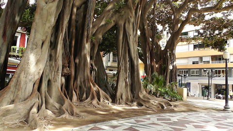 Alicante Spain 41 Rubber Trees Stock Video Footage