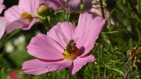 Bee in work on Pink Summer Flower 1 Footage