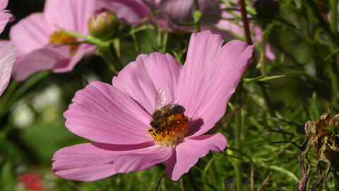 Bee in work on Pink Summer Flower 1 Stock Video Footage