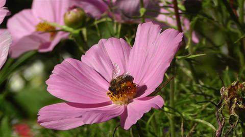 Bee in work on Pink Summer Flower 1 Stock Video Footage