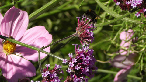Bee in work on Pink Summer Flower 3 Stock Video Footage