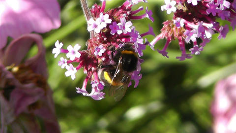 Bee in work on Pink Summer Flower 5 Stock Video Footage