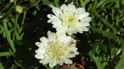White Summer Flowers 5 garden Stock Video Footage