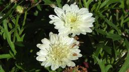 White Summer Flowers 5 garden Stock Video Footage