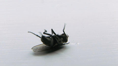 Dying Fly Footage