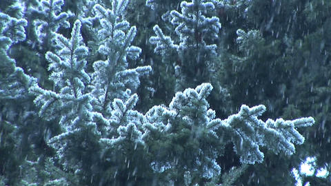 Snow Falling on evergreens, slow motion Footage