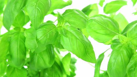 Fresh basil leaves background Footage
